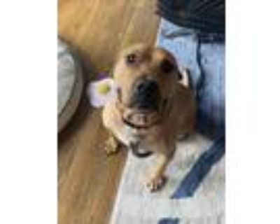Adopt Claude a Brown/Chocolate American Pit Bull Terrier / Mixed dog in Morton