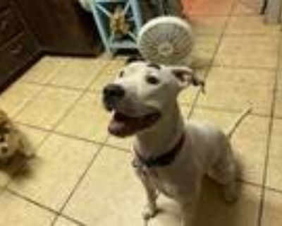 Adopt Ma Ma a White - with Gray or Silver American Pit Bull Terrier / Schnauzer