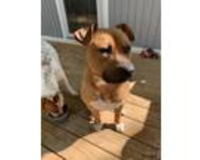 Adopt Simba a Brown/Chocolate - with Black Boxer / Mixed dog in Lilburn