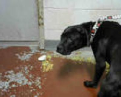 Adopt GREENEY a Black - with White American Pit Bull Terrier / Mixed dog in