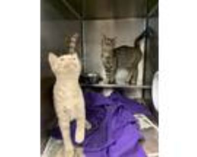 Adopt Burberry & Amazing Grace (Bonded Pair) a Domestic Short Hair