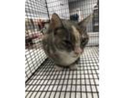Adopt *ARI a White (Mostly) Domestic Shorthair / Mixed (short coat) cat in