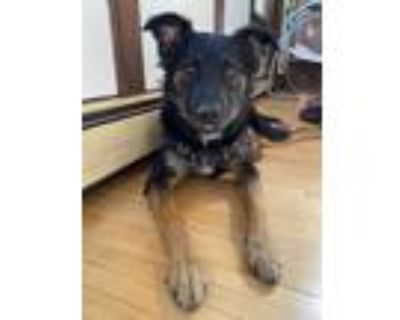Adopt Taco a Black - with Tan, Yellow or Fawn Shepherd (Unknown Type) / Mixed