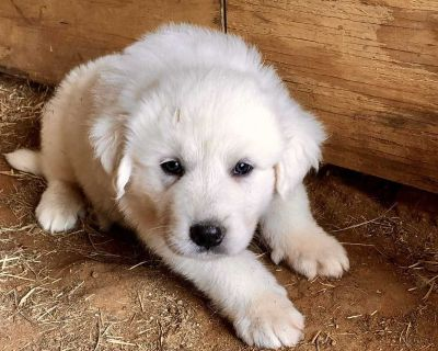 Great Pyrenees Puppy - Male