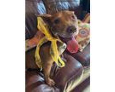 Bagel Baby, Pit Bull Terrier For Adoption In Alpharetta, Georgia