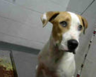 Adopt MARLOW a White - with Tan, Yellow or Fawn Weimaraner / Mixed dog in