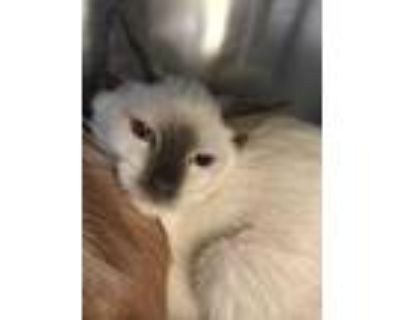 Adopt Pecan a White Siamese / Domestic Shorthair / Mixed cat in Palm Springs