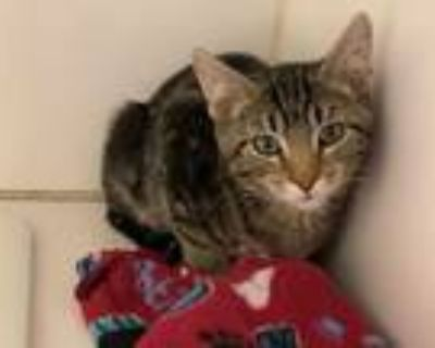 Adopt *PHOEBE a Brown Tabby Domestic Shorthair / Mixed (short coat) cat in