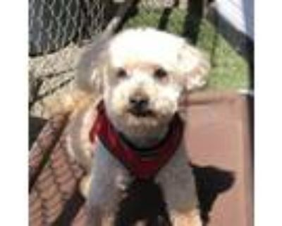 Adopt Andy a Poodle