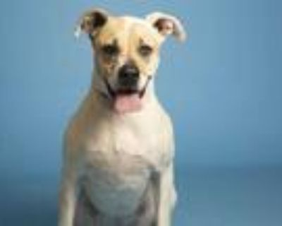 Adopt CALLIOPE a White - with Brown or Chocolate Pointer / Mixed dog in Phoenix