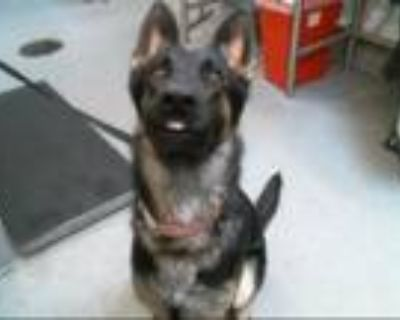 Adopt DOTT a German Shepherd Dog, Mixed Breed