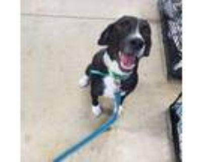 Adopt Chess - 072806P a Beagle