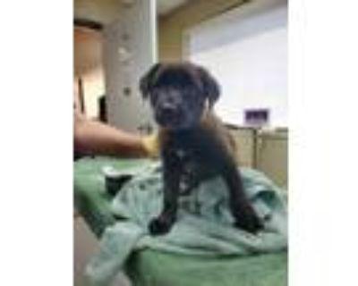 Adopt Zelda a Black Labrador Retriever / Mixed dog in Carrollton, TX (32040599)