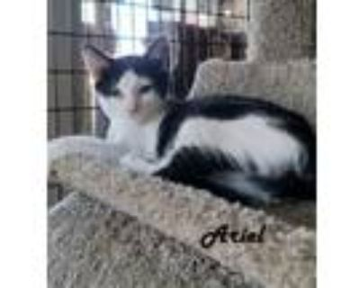 Adopt Kittens in 'Katie's Cage' - Ariel, Ash and Ms. Alfie a Domestic Short