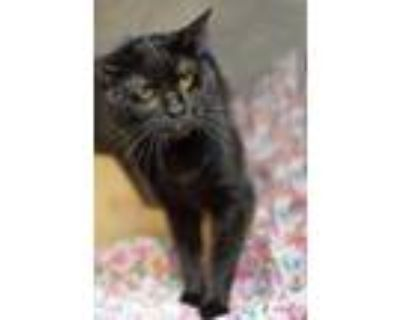 Adopt Maximo a All Black Domestic Shorthair / Domestic Shorthair / Mixed cat in
