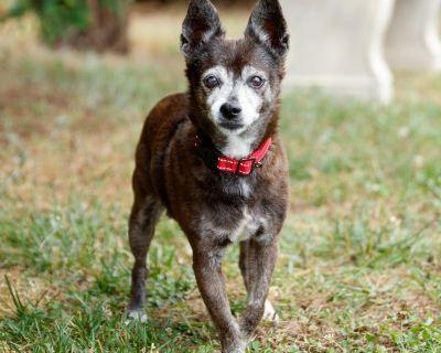 Betty P 11365 - Chihuahua/Mix - Senior Female