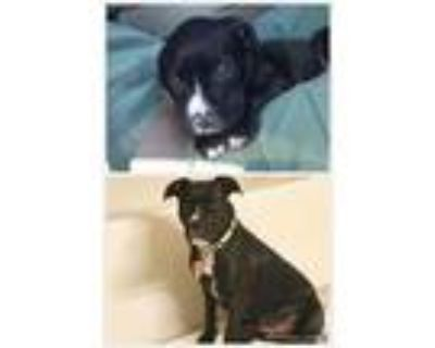 Adopt Cali Rae a Black - with White American Pit Bull Terrier / Mixed dog in