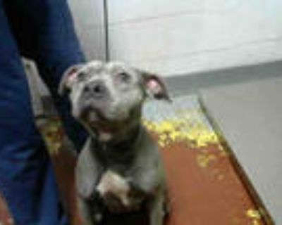 Adopt TOMMIE a Gray/Blue/Silver/Salt & Pepper American Pit Bull Terrier / Mixed