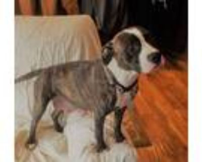Adopt Sorsha a American Staffordshire Terrier, Mixed Breed