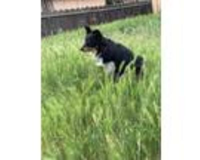 Adopt Gizmo a Black - with Tan, Yellow or Fawn Border Collie / Australian Cattle