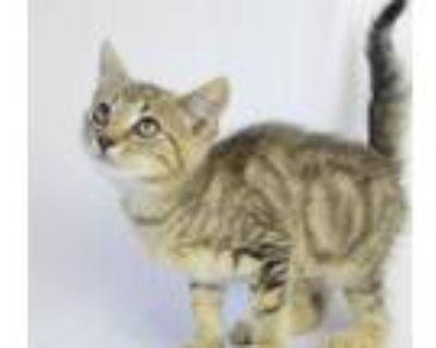 Adopt Ponyo a Domestic Short Hair