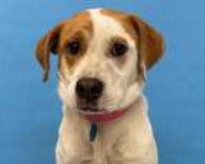 Adopt 48281440 a White Retriever (Unknown Type) / Australian Cattle Dog / Mixed