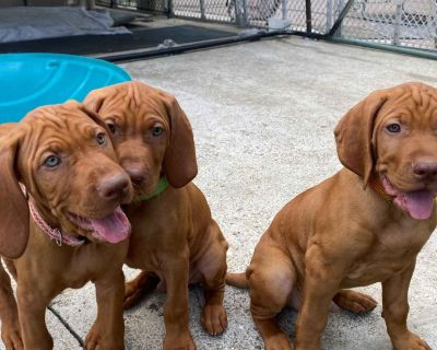 Puppies Available Now & Next Litter December 2021!