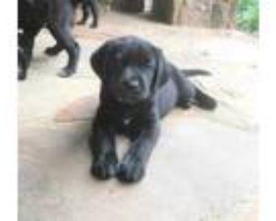 Adopt Astro a Black Labrador Retriever / Mixed dog in Cumming, GA (31618173)