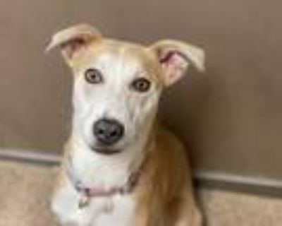 Adopt INDIE a Tan/Yellow/Fawn - with White Greyhound / Collie / Mixed dog in