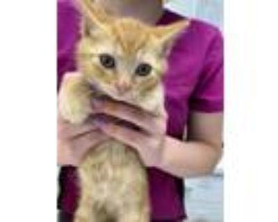 Adopt MG Sho (Show) a Domestic Mediumhair / Mixed (medium coat) cat in Cambria