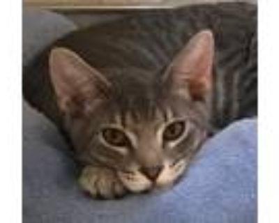 Adopt Aston a Domestic Shorthair / Mixed cat in Mipiltas, CA (32108186)