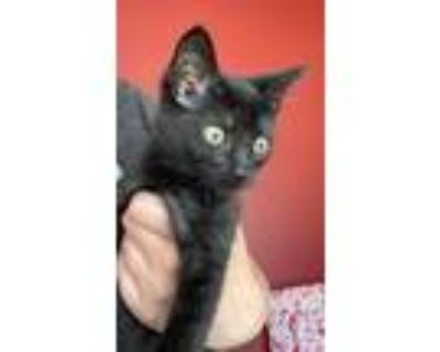 Adopt Chris Kirkpatrick a Domestic Short Hair