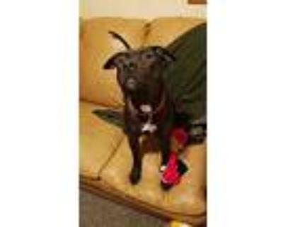 Cena, Staffordshire Bull Terrier For Adoption In White Settlement, Texas
