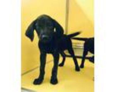 Adopt John a Black Labrador Retriever / Mixed dog in Independence, MO (32066821)