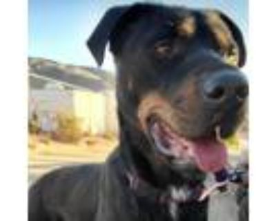 Adopt Awesome Kaiser_ Young_ mixed breed a Labrador Retriever, Shepherd