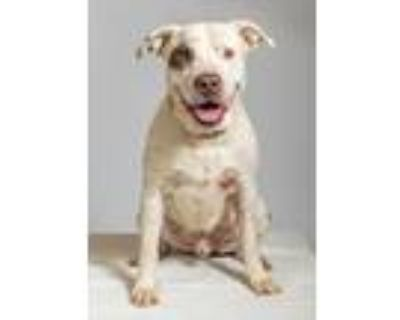 Adopt Camo a Pit Bull Terrier, Mixed Breed