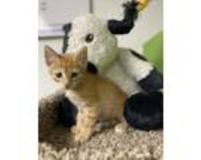 Adopt Rory a Orange or Red (Mostly) Domestic Shorthair (short coat) cat in