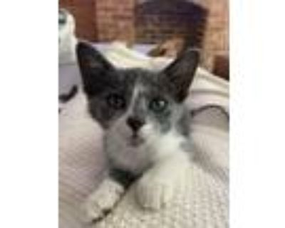 Adopt Highlander a Gray or Blue (Mostly) Domestic Shorthair / Mixed cat in