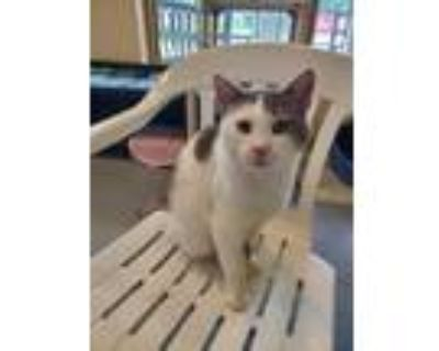 Adopt Gary a White Domestic Shorthair / Domestic Shorthair / Mixed cat in