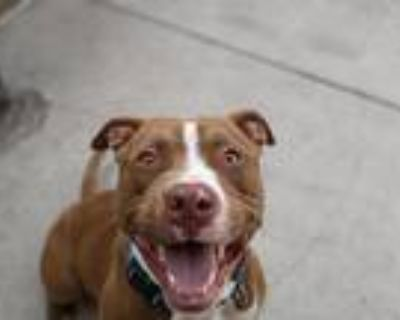 Adopt Grayson a Red/Golden/Orange/Chestnut - with White Pit Bull Terrier / Mixed
