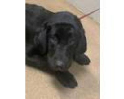 Adopt Elm* a Black Labrador Retriever / Mixed dog in Anderson, SC (31923716)