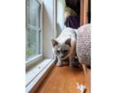 Adopt Runt a White (Mostly) Domestic Mediumhair / Mixed (medium coat) cat in