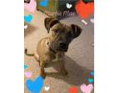 Adopt Marble Mae a Pit Bull Terrier
