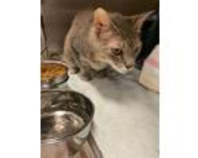 Grayson, Domestic Shorthair For Adoption In Chesapeake, Virginia