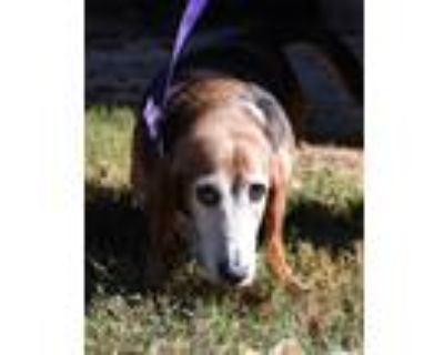 Adopt Violet a Tricolor (Tan/Brown & Black & White) Basset Hound / Mixed dog in