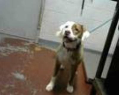 Adopt PATRICIA a Pit Bull Terrier