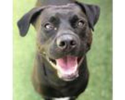 Adopt Seven a Black Labrador Retriever / Mixed dog in St. Louis, MO (31505995)