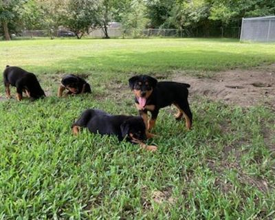 Full blooded American Rottweiler puppies