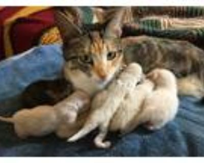 Adopt Nala 05-4234 (Mom with 5 kittens) a Calico or Dilute Calico Domestic