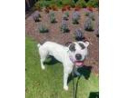 Adopt Nyla a White American Pit Bull Terrier / Mixed dog in Newport News
